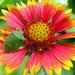 kokárdavirág