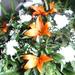 072./ KÖZEPES élővirág görög koszorú