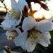 tavaszodó