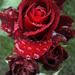 a rózsa álma