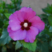 Mályvafa virága