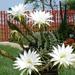 Echinopsis eyriessi