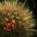 Tragopogon dubius