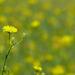 sárga mező