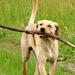 Botos kutya