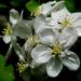 alma virágok 002