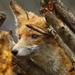 Ábrándozó róka