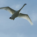 Hattyú madár fenn az égen