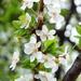 virágos cseresznyeág