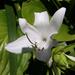 liliom, árnyékliliom fehérben
