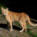 állatok, macska tigrispózban