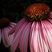 Kasvirág